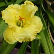 Location: Private Daylily Garden, MIDate: 2012-07-01Used with permission, KMP