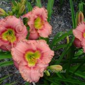 Location: Private Daylily Garden, MIDate: 2004-07-23