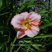 Location: Private Daylily Garden, MIDate: 2004-07-31