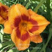 Location: Private Daylily Garden, MIDate: 2005-07-20
