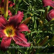 Location: Private Daylily Garden, MIDate: 2013-07-06