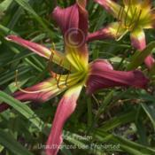 Location: Private Daylily Garden, MIDate: 2010-07-15