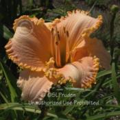 Location: Private Daylily Garden, MIDate: 2007-08-04