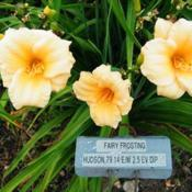 Photo Courtesy of QB Daylily Gardens