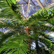 Location: Botanical Gardens of the State of Georgia...Athens, GaDate: 2018-03-23Norfolk Island Pine 001