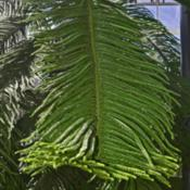 Location: Botanical Gardens of the State of Georgia...Athens, GaDate: 2018-03-23Norfolk Island Pine 002