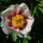 "Location: Clinton, Michigan 49236Date: 2016-05-19""Paeonia 'Athena', 2016, (1-SL-W) Hybrid [Peony], pay-O"