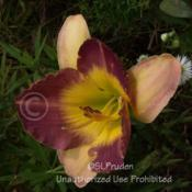Location: Private Daylily Garden, MIDate: 7-2007