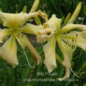 Location: Private Daylily Garden, MIDate: 2008-07-19