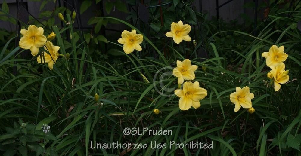 Photo of Daylily (Hemerocallis 'Happy Returns') uploaded by DaylilySLP