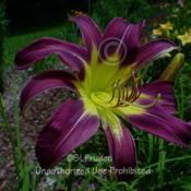 Location: Private Daylily Garden, MIDate: 2004-07-23Polymerous bloom