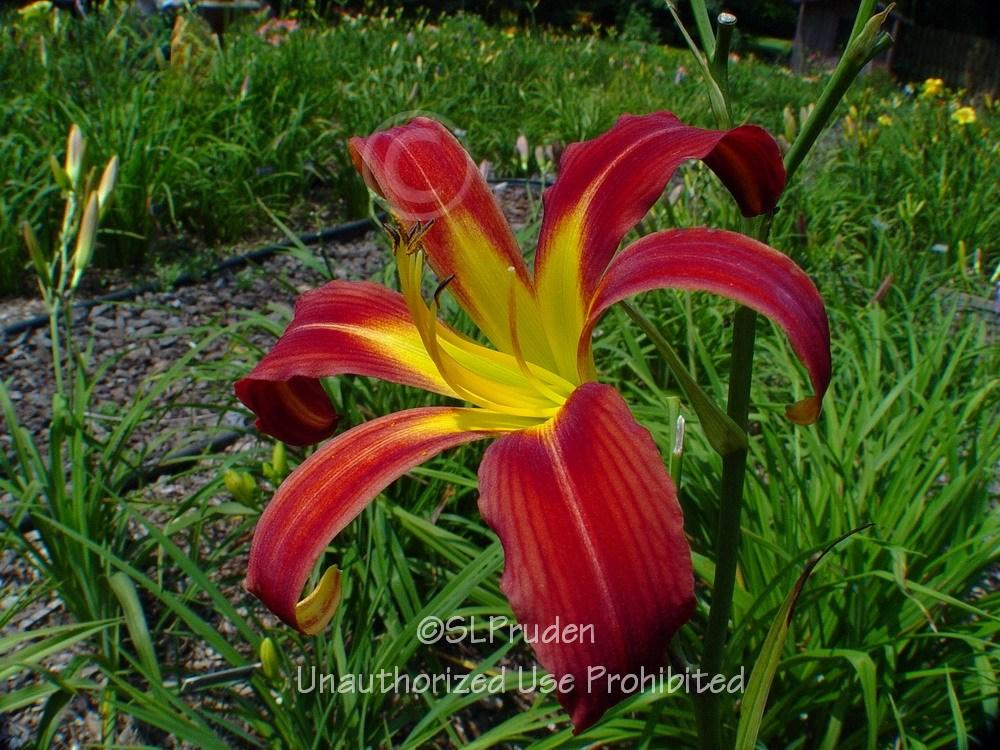 Photo of Daylily (Hemerocallis 'Holly Dancer') uploaded by DaylilySLP