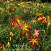 Location: Private Daylily Garden, MIDate: 2011-07-24In the foreground