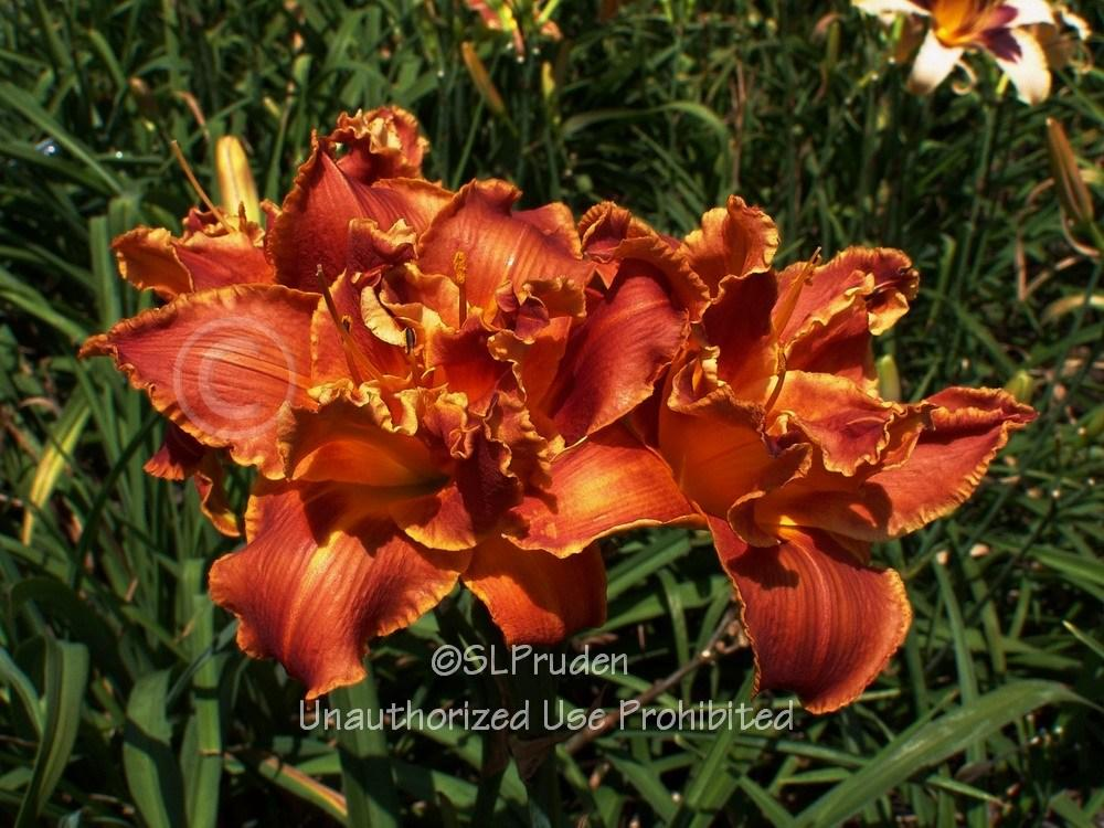 Photo of Daylily (Hemerocallis 'Holiday Party') uploaded by DaylilySLP