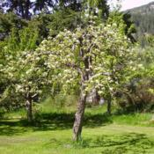 Location: Riverview, Robson, B.C. Date: 2006-05-04Many blossoms in May, equals many Pears in August.