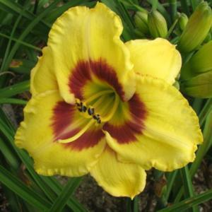 Photo courtesy of Harbour Breezes Daylilies