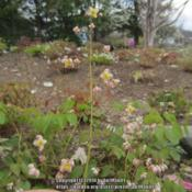 "Location: Massachusetts gardenDate: May 6, 2014Flower details on a yellowish-pinkish ""running form"" of"