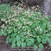 Location: Massachusetts gardenDate: April 17, 2012Whole plant in flower, flower color is basically white,