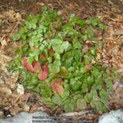 Location: Massachusetts gardenDate: March 2, 2010Overwintered evergreen foliage, new leaves not sproutin