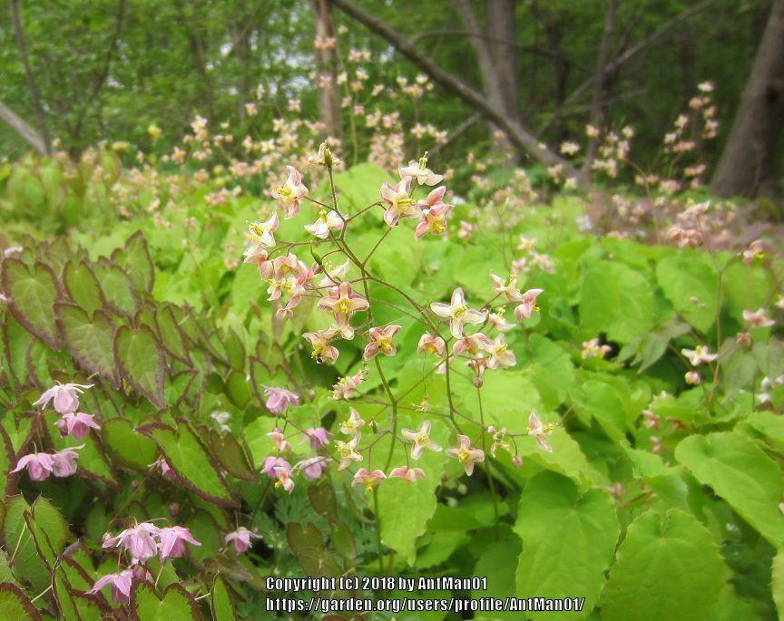 Photo of Bishop's Hat (Epimedium pubigerum) uploaded by AntMan01