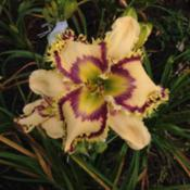 Photo Courtesy of Ladybug Daylilies . Used with Permiss