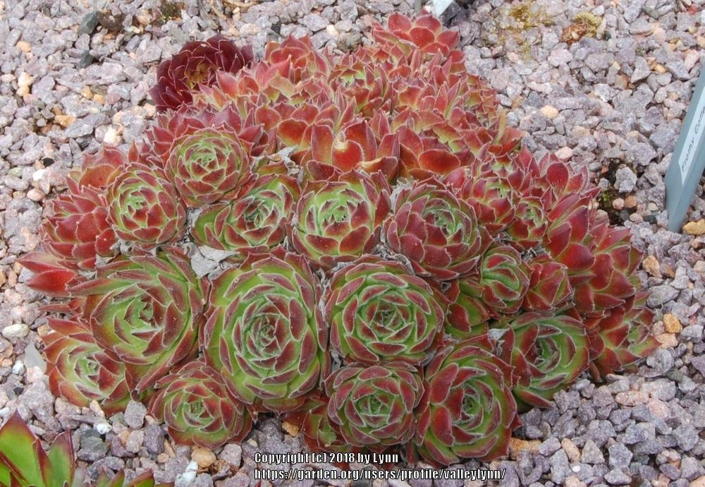 Photo of Hen and Chicks (Sempervivum 'Frothy Coffee') uploaded by valleylynn