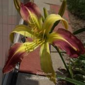 Location: Private Daylily Garden, MIDate: 2009-07-13