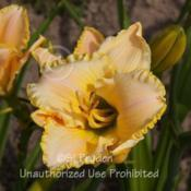 Location: Private Daylily Garden, MIDate: 2014-07-11