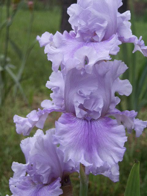 Photo of Tall Bearded Iris (Iris 'Ascent of Angels') uploaded by NancyMo