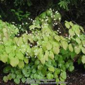 Location: Massachusetts gardenDate: May 15, 2005Bottom foliage is previous year's evergreen foliage, lighter gree