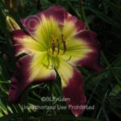 Location: Private Daylily Garden, MIDate: 2008-08-03