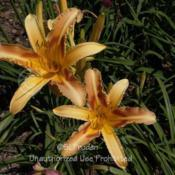 Location: Private Daylily Garden, MIDate: 2006-07-19