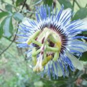 Location: Kyle, TexasDate: 2018-03-29Being mostly evergreen, the blue passion vine flowers e