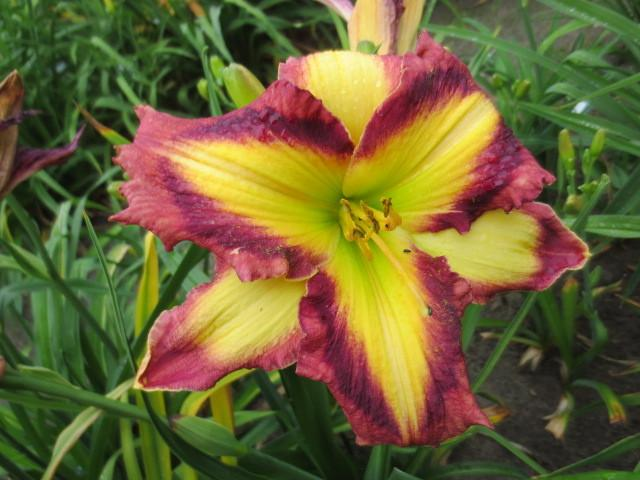 Photo of the bloom of daylily hemerocallis applique prism posted