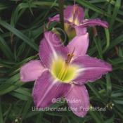 Location: Private Daylily Garden, MIDate: 2005-08-22