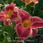 Location: Private Daylily Garden, MIDate: 2010-07-14