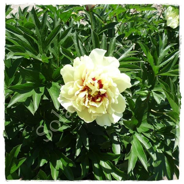 Photo of Itoh Peony (Paeonia 'Callie's Memory') uploaded by Joy