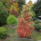 Location: Massachusetts gardenDate: October 18, 2016Superb autumn color on 20 year old tree.