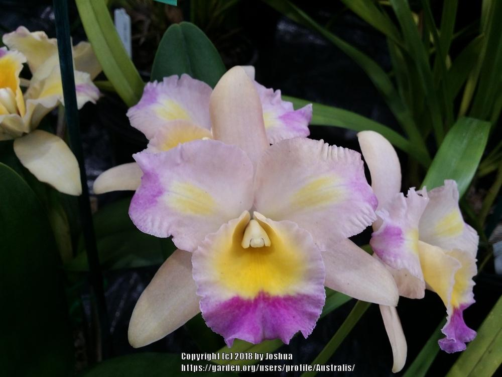 Photo of Orchid (Rhyncattleanthe Momilani Rainbow 'The Gypsy') uploaded by Australis