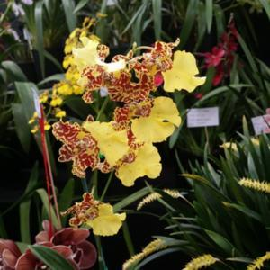 Part of the Southern Suburbs Orchid Society display.