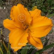 Location: Private Daylily Garden, MIDate: 2006-07-16