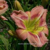Location: Private Daylily Garden, MIDate: 2006-07-29Used with permission KMP (Phaltyme)