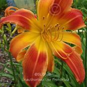Location: Private Daylily Garden, MIDate: 7-2008fused bloom