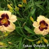 Photo courtesy of Saksa Daylily Farm