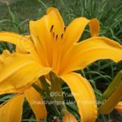 Location: Private Daylily Garden, MI (Adams)Date: 2010-07-15