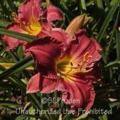 Location: Private Daylily Garden, MIDate: 2012-07-10