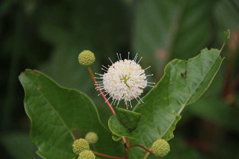 Photo of Buttonbush (Cephalanthus occidentalis) uploaded by Lucichar