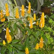 Location: Botanical Gardens of the State of Georgia...Athens, GaDate: 2018-02-02Justicia Brandegeana - Lutea Yellow Shrimp Plant 001