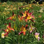 Location: Private Daylily Garden, MI (DKP)Date: 2011-07-24