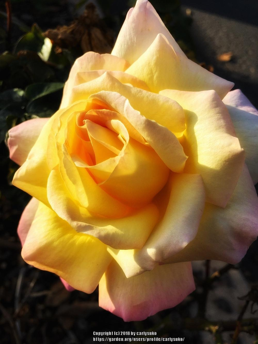 Photo of Rose (Rosa 'Peace') uploaded by carlysuko